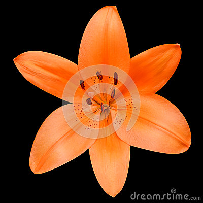 Open Orange Lily Flower Isolated on Black Background