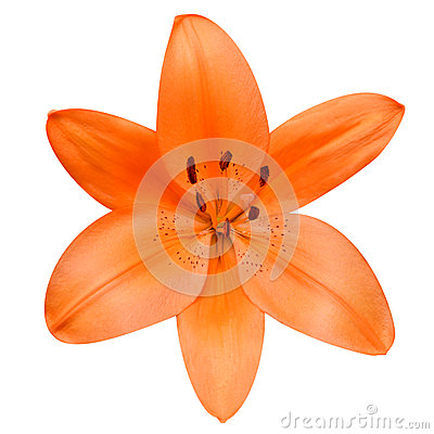 Free Open Orange Lily Flower Isolated On White Background Stock Photo - 31590400