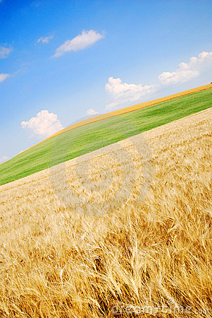 Open wheat field