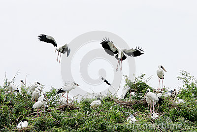 Openbill storks landing on the bush