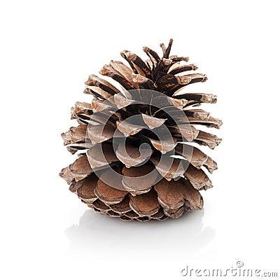 Opened cedar cone