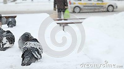 Opgeblazen duiven op de verschansing op een koude de winterdag in de stad stock video