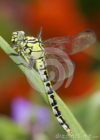 Ophiogomphus cecilia / Green Snaketail dragonfly