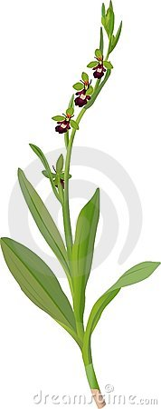 Free Ophrys Muscifera Royalty Free Stock Image - 381496