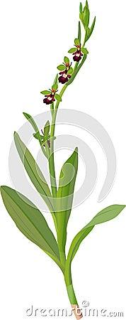 Ophrys muscifera