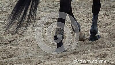 Opini?n lenta de la cacerola sobre los enganches de los caballos que corren a trav?s de un campo arenoso almacen de metraje de vídeo