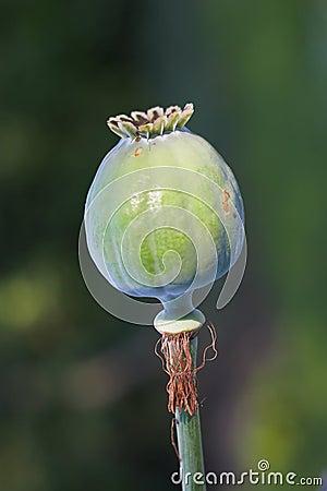 Free Opium Stock Image - 2817021