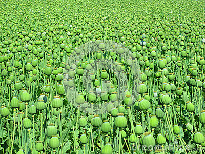 Opium poppy large field