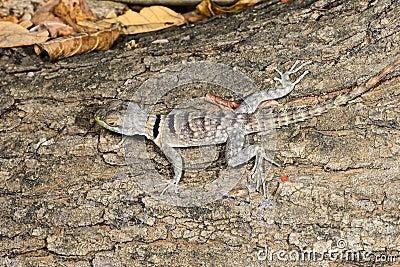 Oplurus cuvieri, tsingy de bemahara