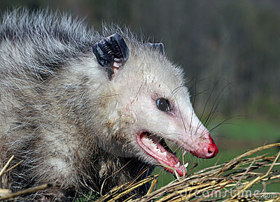opossum royalty free stock photography image 8984437