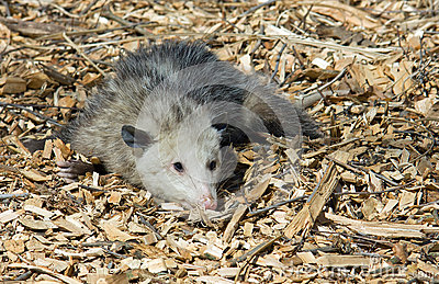Opossum playing possum