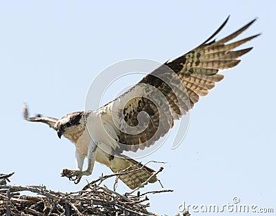 Opsrey landing on a nest