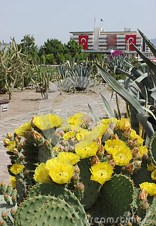 Opuntia flower in Konak square, Izmir