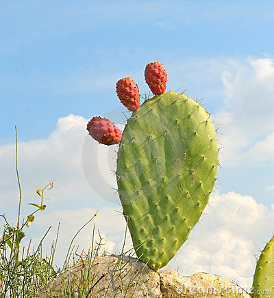 Free Opuntia With Ripe Fruits Royalty Free Stock Photos - 12202268