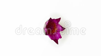 Opuszczanie się różowego kwiatu lilii zdjęcie wideo