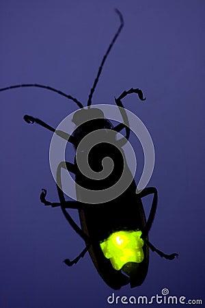 Opvlammende Glimworm - het Insect van de Bliksem