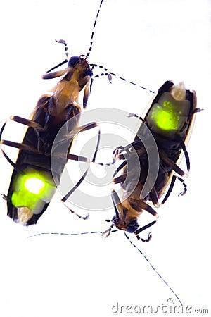 Opvlammende Glimwormen - de Insecten van de Bliksem