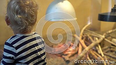 Opwindende jongen die volwassen dieren onder licht bekijkt Gimbal motienadruk verandering stock footage