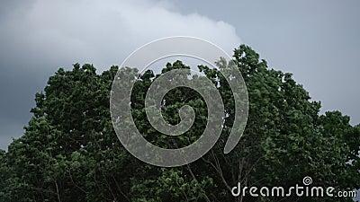 Orage lourd d'été dehors avant la pluie Vent violent soufflant les branches d'arbre vertes dans l'orage dramatique de forêt dehor banque de vidéos
