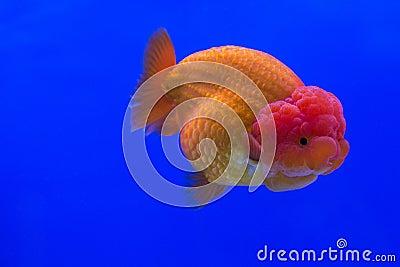 Oranda del pesce rosso fotografia stock immagine 61142258 for Pesce oranda