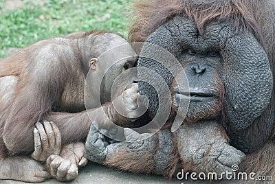 Orang-outang family