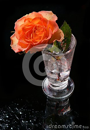 Orang rose