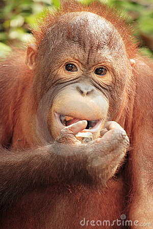 Orang-Utan - close up