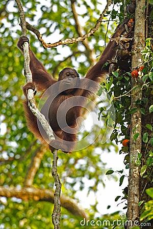 Orang Utan dans la figue
