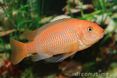 Orange african cichlid.