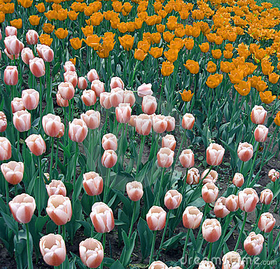 Free Orange And Pink Tulips Stock Photos - 2952163