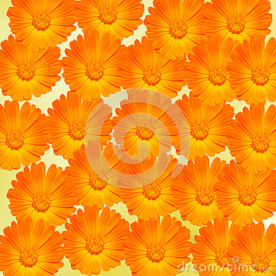 Free Orange And Yellow Calendula Officinalis Flowers (pot Marigold, Ruddles, Common Marigold, Garden Marigold), Texture Background Stock Images - 51103104
