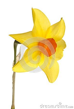 Free Orange And Yellow Daffodil Flower Stock Photos - 24505033