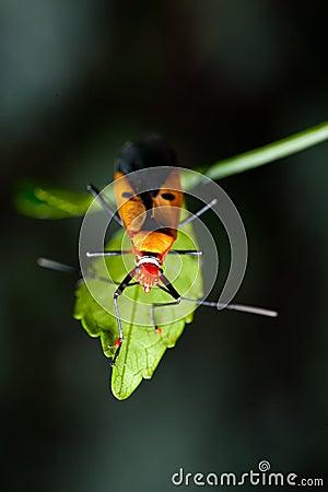 Orange assassin bug