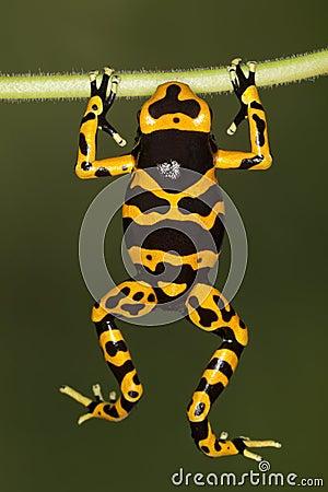Orange-banded poison dart frog