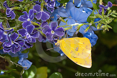 Orange Barred Sulphur Butterfly