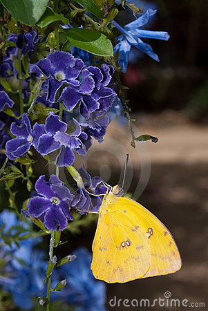 Free Orange Barred Sulphur Butterfly (Phoebis Philea) Royalty Free Stock Photo - 11199845