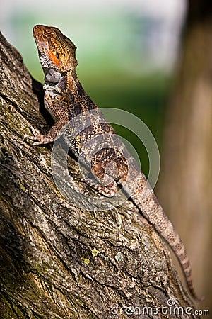 Free Orange Bearded Dragon On The Tree Royalty Free Stock Photos - 16306148