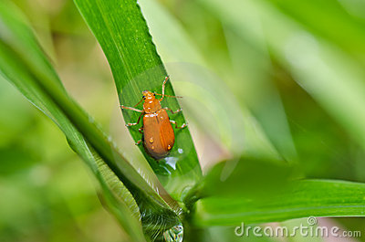 Orange beetle in green nature