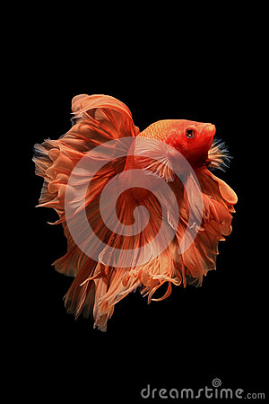Free Orange Betta Fish Royalty Free Stock Photo - 62799485