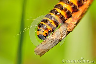 Orange and black cinnabar moth caterpillars