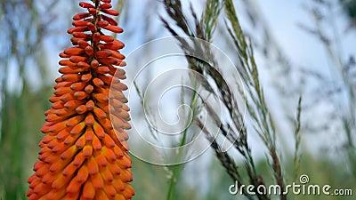 Orange blomma av aloe lager videofilmer