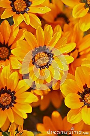 Orange Blooming