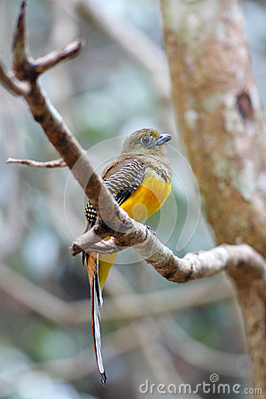 Orange-breasted Trogon female