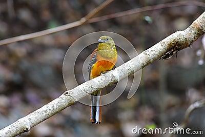 Orange-breasted Trogon male