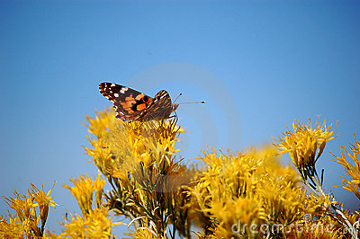 Orange Butterfly on Yellow Flowers