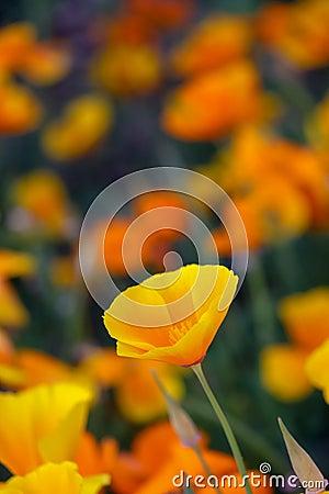 Free Orange California Poppy Flowers Stock Photo - 130170760