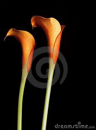 Free Orange Calla Lillies Stock Image - 205441