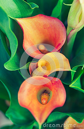 Free Orange Calla Lily Stock Photos - 95344523