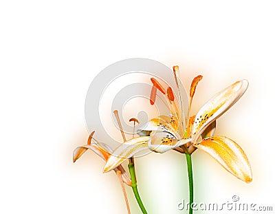 Orange Canada Lily - Lilium Canadense