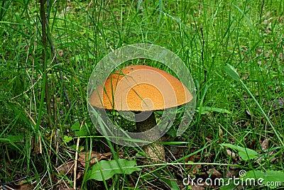 Orange-cap boletus mushroom.